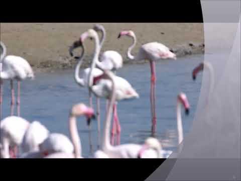 A very big disciplined army of Flamingos in Ras Al Khor, Dubai