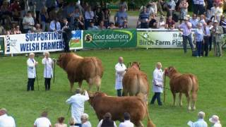 Gwartheg Limousins - Pencampwriaeth | Limousin Cattle - Championship