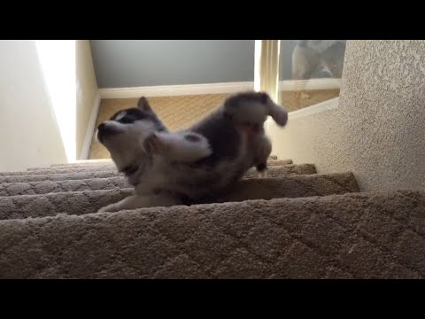 Husky Puppy Tumbles down Stairs