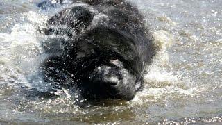 Щенок Водолаза НАУЧИЛСЯ ПЛАВАТЬ, северное озеро, ньюфаундленд плавает, знакомство, семейный отдых