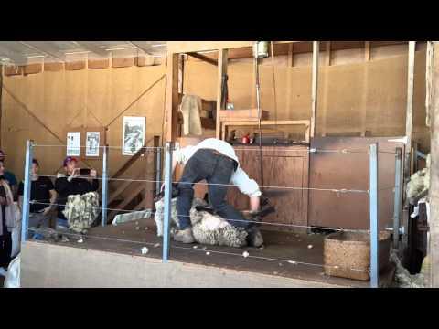 Xén lông cừu tại Churchill Farm, Melbourne