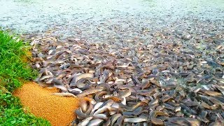 Hybrid Magur Fish Farming Business In India || Million Catfish Eating Food In Poond ||হাইব্রিড মাগুর