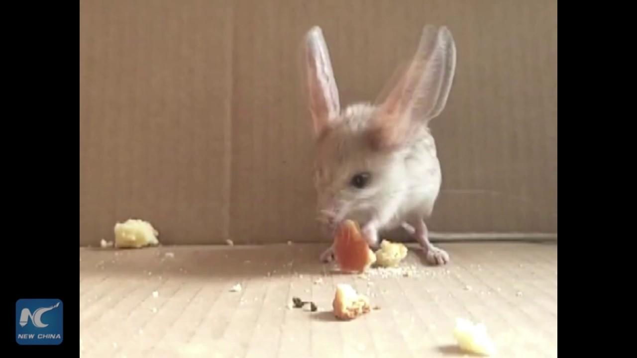 rare long eared jerboa visits xinjiang hotel youtube