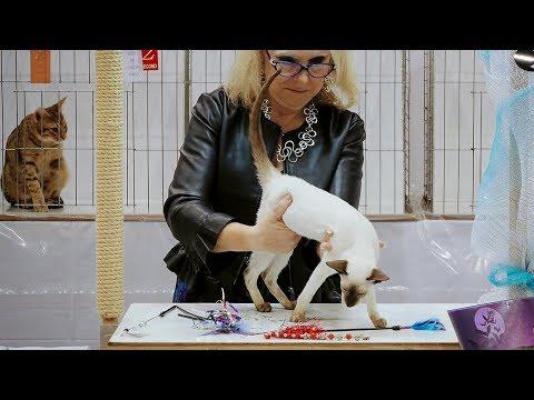 CFA International Show 2018 - Siamese kitten class judging