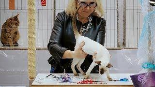 CFA International Show 2018  Siamese kitten class judging