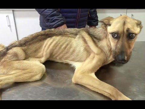 Starving Dog Who Couldn't Stand Up Makes An Incredble Transformation