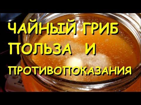Чайный гриб полезные свойства и противопоказания.