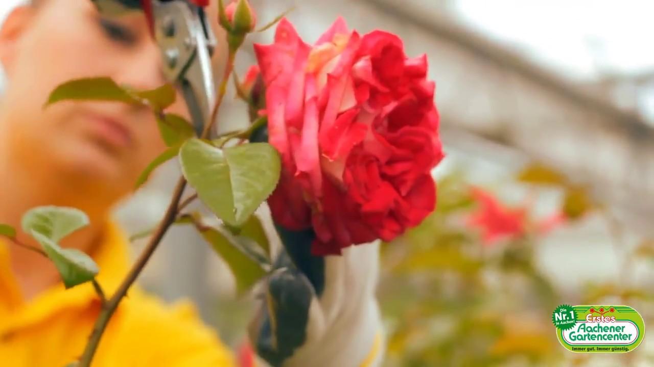 august - rosen zurückschneiden - youtube