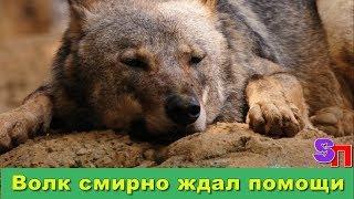 Волк пришел из леса в больничный городок, сел на прогулочной дорожке, и опустив голову, что-то ждал