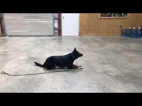 "Beautiful German Shepherd ""Zebulon"" 10 Mo's Obedience Protection Executive Level Protection Dog"