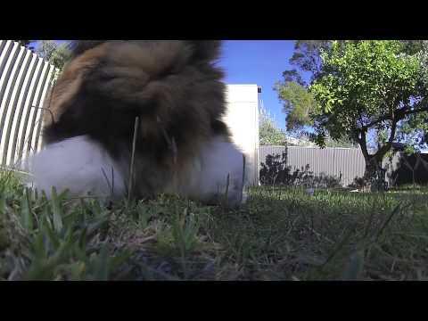 Norwegian Forest Cat - Happy noise   *1080HD
