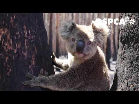 Kangaroo Island Bushfire - Day 4 Update On RSPCA South Australia's Response