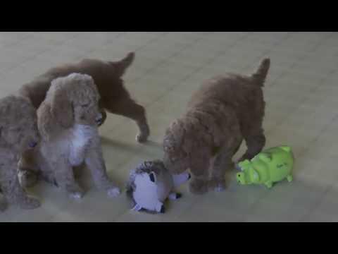 Wayne Weaver's Standard Poodle Pups