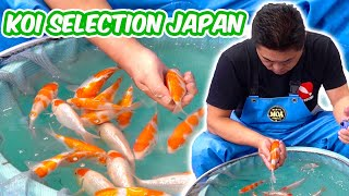 How Baby KOI FISH Are SELECTED - Koi Selection In Japan [BREEDER GUIDE]