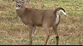 Big Deer Poops