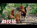 《科技苑》 20180605 吃石头的土鸡变金鸡 | CCTV农业