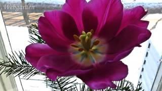 Выгонка цветов тюльпанов и нарциссов