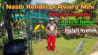 Nasib Kenari di Aviary mini, Harus di Isoman !!!