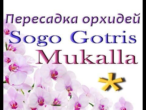 Орхидеи SOGO GOTRIS, MUKALLA: пересадка