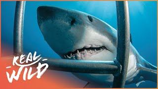 White Sharks Outside The Cage [Shark Documentary] | Real Wild