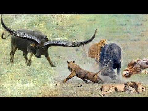 Lion vs Buffalo Battle is not never - Mother Buffalo rescue newborn Buffalo from the king Lions