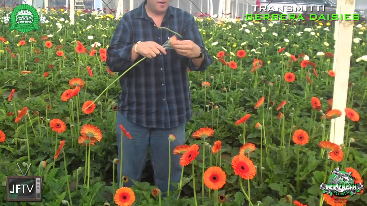 Jftv presents guatemalan gerbera daisies farm visit youtube dhlflorist Choice Image