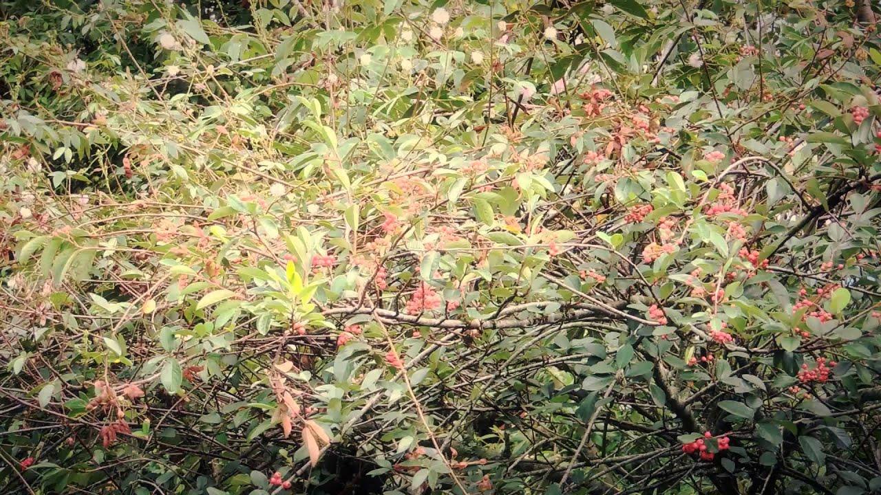 7025 arbol de peque os frutos rojos efectos paisajes