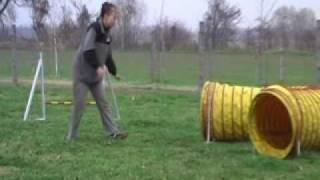 Silky Terrier Agility training