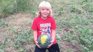 How To Tell If A Watermelon Is Ripe and Ready To Pick