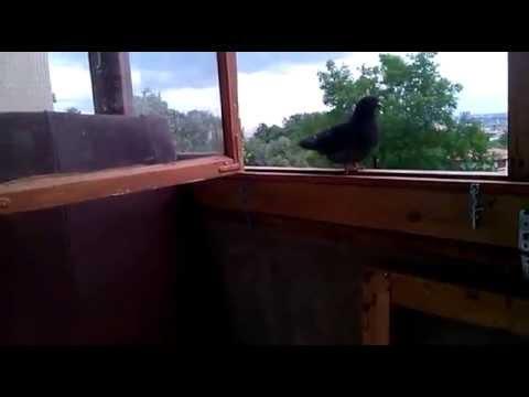 Голуби на балконе - pigeons on the balcony - youtube.