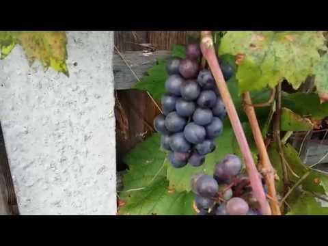 Growing grapes in the UK part 1.