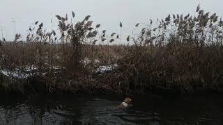 Duck winter! Bracco Italiano Foxy  aport winter duck!