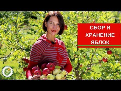 Вопрос: Когда собирать яблоки зимних сортов на хранение?