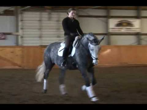 ** SOLD ** Grey 5 Yr 16.2 h Percheron Dressage Geld for Sale - Somerset Farms Longmont Colorado