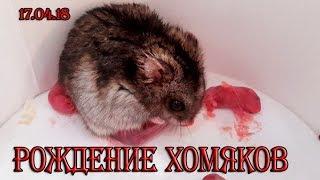РОЖДЕНИЕ ХОМЯКОВ (ДЖУНГАРСКИХ) / BIRTH OF THE HAMSTER