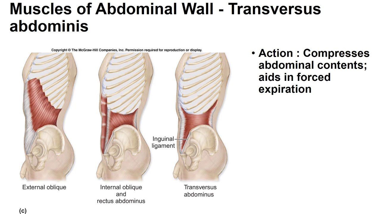 Muscles of Abdominal Wall - YouTube