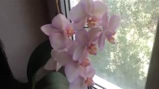 Первые результаты удобрения цветущей орхидеи Легатто. *ЕленаТ*