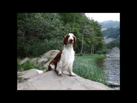 Ballad of Elfin - welsh springer spaniel