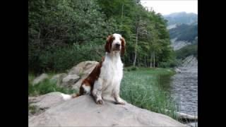 Ballad of Elfin  welsh springer spaniel