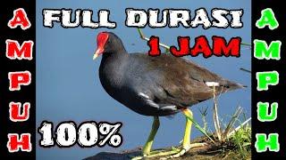 Download SUARA PIKAT BURUNG MANDAR PALING AMPUH DAN JERNIH