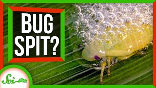 Beware the Bug Spit: How Spittlebugs Accidentally Doom Plants