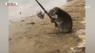 Australia, il koala prova a pescare nel fiume