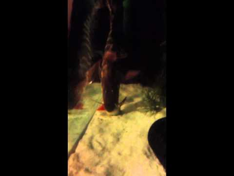 Video Zebra shovelnose catfish