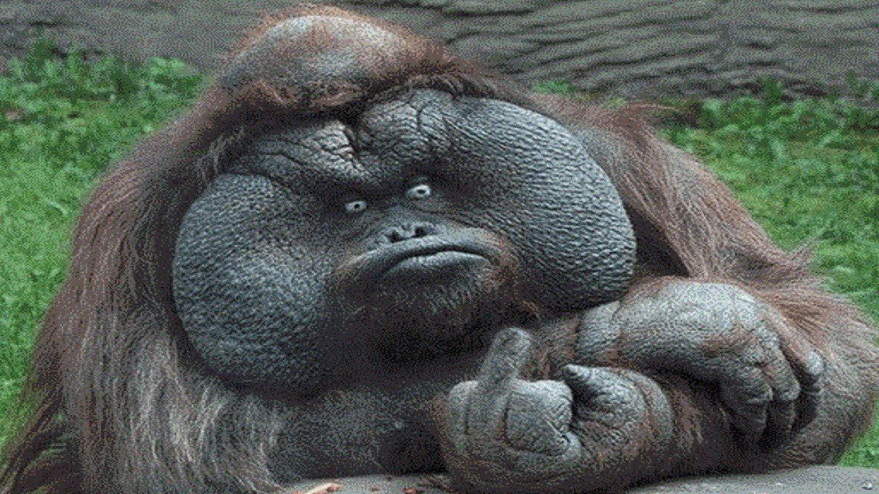Orangutan Funny - Orangutan - Funny Orangutans And Cute ...