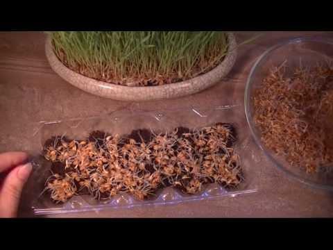 Пророщенная пшеница: как вырастить и употреблять