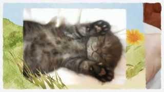 Вислоухий котенок фото