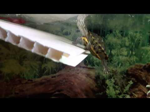 Красноухая черепаха в аквариуме 180 литров