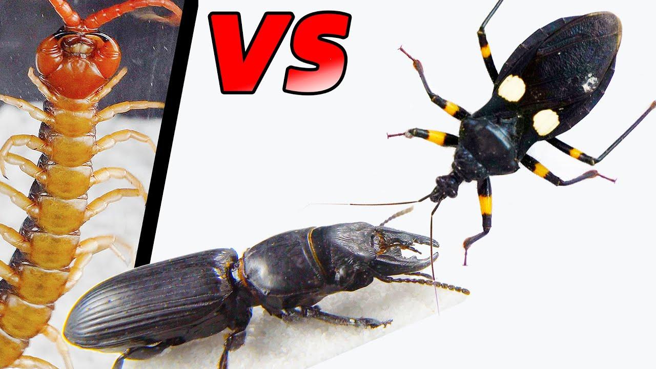 巨螻步甲 vs 刺客蟲 vs 蜈蚣!Warrior beetle vs Assassin bug vs Centipede