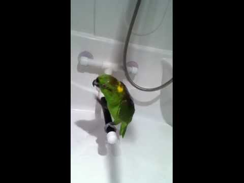 видео: Попугай maкеша -  русско-поющий канадец.  yellow naped amazon.