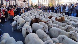 Madrid invasa da migliaia di pecore celebrano il diritto secolare dei pastori alla Transumanza
